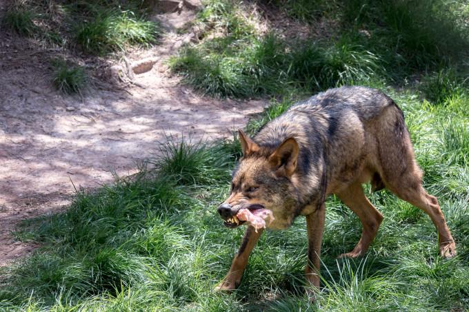 De două săptămâni lupii fac prăpăd în zona Râșca – Mănăstireni. Prefectura analizează azi situația