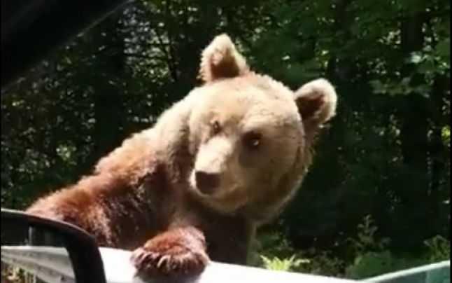 O ursoaică și puii ei loviți intenționat cu mașina de turiști